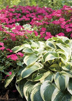 Hosta are the ideal foundation plants for a shade garden. Their variations in color and texture play well with companions like heuchera and hardy ferns. Read more on hosta and friends at The Home Depot's Garden Club.