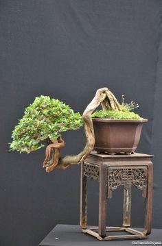 Bonsai Việt nam