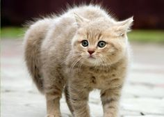 Dlaczego na widok psa, obcego kota lub innego wroga kot wygina grzbiet?
