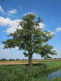Alnus glutinosa, the common alder, black alder, European alder. grows in poor soil Alder Tree, Oak Tree, Tree Images, God Pictures, Tree Forest, Plantation, Trees And Shrubs, Tree Of Life, Beautiful Images