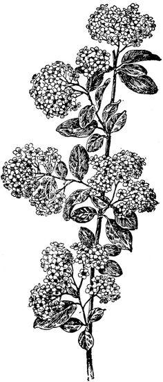 **FREE ViNTaGE DiGiTaL STaMPS**: Free Digital Stamp - Floral Botanical Image