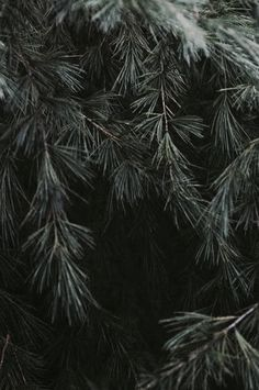 The Olde Pine Tree | The North Realm