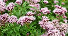 Health Benefits of Valerian - In the Garden - Mother Earth Living How To Get Sleep, How To Make Tea, Severe Insomnia, Herbs For Sleep, Tea Before Bed, Herbs List, Big Plants, Flowers Perennials, Insomnia