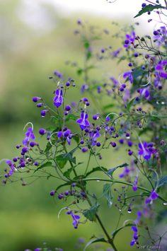 雁草(かりがねそう)  雁金草と表記することも。別名、帆掛草(ほかけそう)。 Caryopteris divaricata