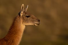 Paul B Jones posted a photo:  The Guanaco (pronounced by me as Won-Knocko) is common in Patagonia National Park and, on account of its protected status, quite approachable. This image was taken in beautiful evening light and captures the confident nature of these wild ancestors of the Llama.  One thing about Guanacos, though - don't get too close. They spit when annoyed, which sounds pretty bad, but is actually a euphamism for something worse - a powerful aerosolized cone of salvia and mucus…