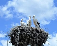 Photo about Three storks on the nest - June 2014 - Monte Selvagem Animal Reserve - Alentejo – Portugal. Image of reserve, portugal, alentejo - 111805909