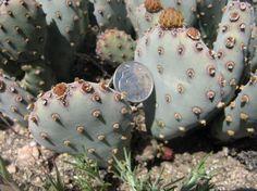 Opuntia basilaris var. brachyclada Opuntia Basilaris, Opuntia Cactus, Cacti And Succulents, Cactus Plants, Baby Cactus, Cactus Pictures, Cactus Craft, Greenery, Gardening