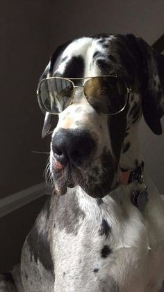 I'm a cool dog #cool #greatdane