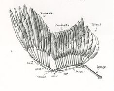 bird wings anatomy - HD1579×1267