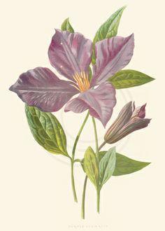 vintage botanical illustrations | Flash of Inspiration | Vintage Botanical Illustrations Rediscovered ...