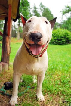 Bull terriers only