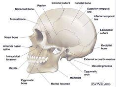 Anatomical skull - side