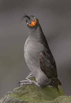 This face totally cracks me up! Crested Auklet
