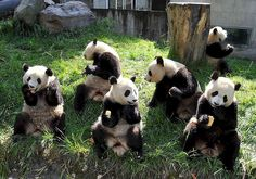 saved panda having lunch after earthquake panda.jpg by phunter 好人, via Flickr