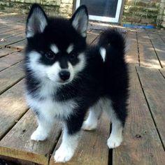 cute puppies husky Socialized Pomsky Puppies Available Cute Husky Puppies, Super Cute Puppies, Baby Animals Super Cute, Cute Baby Dogs, Cute Little Puppies, Cute Funny Animals, Cute Cats, Pomeranian Husky, Puppy Husky