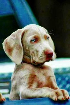 Maybe if I wait here patiently. the chickens will come to me? Weimaraner Puppies, Hound Puppies, Cute Puppies, Cute Dogs, Dogs And Puppies, Doggies, What Kind Of Dog, Puppy Face, Beautiful Dogs