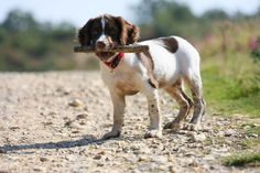 too cute puppies springer spaniel - Google Search