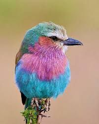 Image result for lilac breasted roller