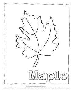 Maple Leaf Coloring Page Our Collecting With Leaves Black And White Outline Drawings For Identification