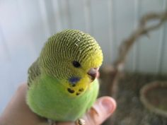 A Fledgling budgie showing he signs of his age: forehead barring, no iris ring, immature cere colour and dark beak.