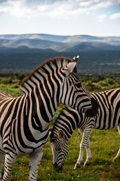 Zebras in south africa animals ▪ wildlife животные и природа African Animals, African Safari, Beautiful Creatures, Animals Beautiful, Zebra Pictures, Out Of Africa, Mundo Animal, All Gods Creatures, Zoology