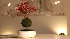 The 'stars' are spongy balls of moss that measure 2.3-inches (6cm) across. These balls con...
