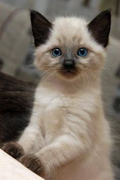 Cute seal point kitten! :-) ~ A seal point cat has a beige or fawn colored body and dark brown legs, ears and a tail. The paw pads and nose pad will be brown on a seal point, and the eyes will be deep blue. - Google Search