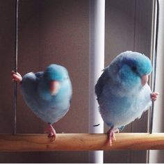 Sweet swinging parrotlets -MM  Forpus parrotlet bird birds parrots cute animals