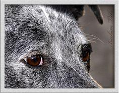 Australian Blue Heeler--- My Sweet Layla <3