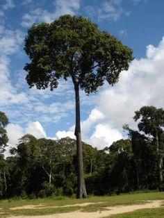 Castanheira do Pará