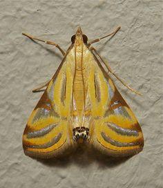 Crambid Moth (Talanga sexpunctalis, Crambidae) | by John Horstman (itchydogimages, SINOBUG)