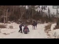 Crazy Moose Attack Couple on Snowmobile | 1Funny.com