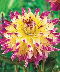 Look at this 'Zoey Rey' Giant Dahlia Bulb on #zulily today!