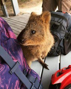 Naughty quokka wanting sandwich in my bag