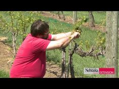 Pruning Grapevines - This has a good view of what the grapevines should look like while you're pruning.