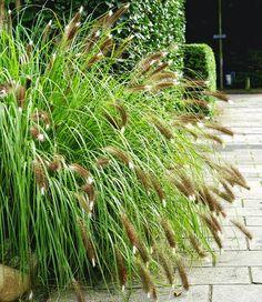 Pomysły na Zaczarowany Ogród cz.3 - Rośliny ROZPLENICA 'AUTUMN MAGIC