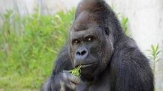 Shabani, el gorila que arrasa «por guapo»