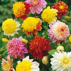 Giant Dinner Plate Dahlias | Flower Bulbs - Powder-Puff Dahlias Mixed