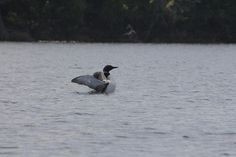 Loon on Lost Dog Lake in Algonquin Park by dancouver, via Flickr