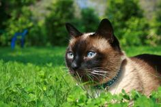 Siamese cat and nature