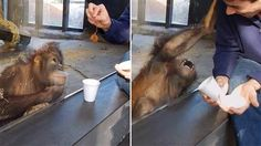 This orangutan rolling on the floor laughing at a magic trick will crack you up