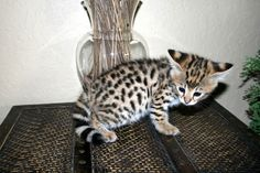 Savannah kitten. illegel in many places for being a half wild african cat. but not here :) i will have one.