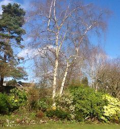 Betula pendula tristis silver birch tree product stone lane my favourite view silver birches and bright blue sky im so lucky workwithnaturefo