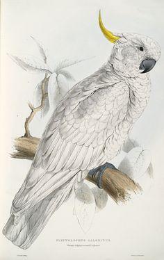 Plyctolophus galeritus. Greater sulphur-crested cockatoo