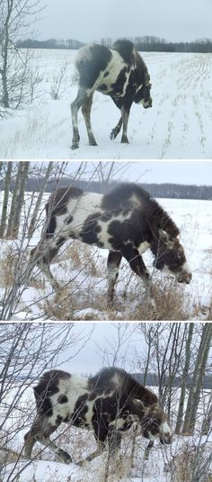 "REAL - Piebald Moose (also referred to as Pinto Moose) - The link includes these images and the following claim by ""breaks hunter"". I got these pics in an email from my uncle today. Pretty cool coloration. It said they were taken in Fahler, Alberta, Canada (Not Anchorage, Alaska) Usually only the second image is pinned or posted."