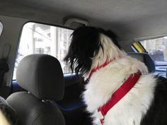 i pet taxi μεταφορά κατοικίδιων ζώων φθηνά με κανονικές τιμές ταξί Dogs, Pet Dogs, Doggies