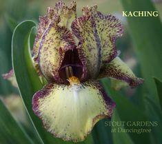 ~Iris KACHING   Stout Gardens at Dancingtree