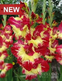 """Stereo Gladiolus:  Height: 36-48""""  Bulb Size: 12/14 cm  Deer Resistant: Yes  Perennializing: Yes  Grow In Containers: Yes  Indoor Forcing: Yes  Cutflower: Yes  Hardiness Zone: 8 - 10  Suitable Zone: 4 - 10  Planting Time: Spring  Planting Depths: 3-4""""  Planting Spacing: 6-9"""""""