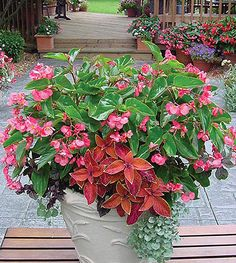 Part Sun - Mixed Container Solutions - # 23 - Dragon Wing Begonia, Wizard Sunset Coleus, Silver Falls Dichondra and Purple Lady Iresine. Beautiful Flowers, Outdoor Gardens, Shade Plants, Container Flowers, Flowers, Garden Containers, Container Garden Design, Garden Pots, Plants