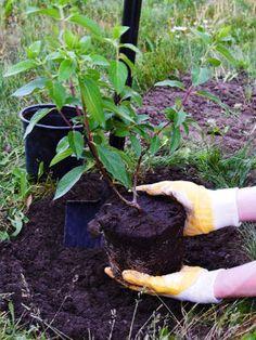 Sadzenie hortensji. Jak i kiedy sadzić hortensje? Decoupage, Pergola, Garden, Plants, Compost, Flowers, Garten, Outdoor Pergola, Lawn And Garden